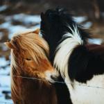 Koně)