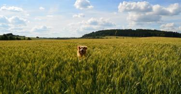 Skákající pes v obilném poli