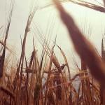 201607-yernju-ludek-wellart-field-wheat-sky